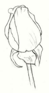 rose line drawing - Google Search