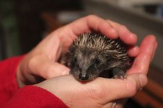 My hedgehog rescue story – my story of how I started a hedgehog hospital in York. www.littlesilverhedgehog.wordpress.com