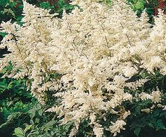 False Spirea | Bloom IQ  *Water during dry spells.