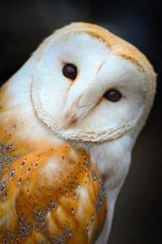 Barn Owls are just gorgeous :) With their little flat-pancake faces and all :)