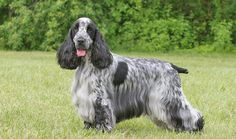 Larger than the American Cocker and with less coat, the English Cocker is devoted, affectionate, and funny. Description from vetstreet.com. I searched for this on bing.com/images