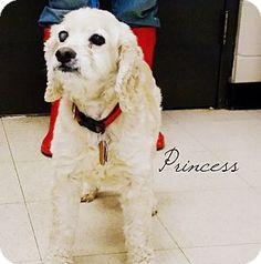 Defiance, OH - Cocker Spaniel. Meet Princess, a dog for adoption. http://www.adoptapet.com/pet/17446993-defiance-ohio-cocker-spaniel