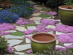 flagstone path with flowering thyme
