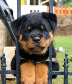 Top 10 Dog Breeds, rottweiler is also among the list :)