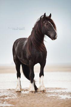 Pacco (Shire Horse) by equine-images.deviantart.com*