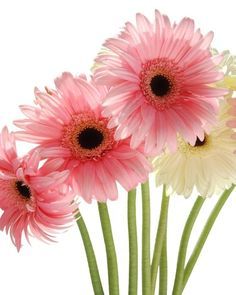 Gerberas= the best! Sunflowers And Daisies, Gerber Daisies, All Flowers, My Flower, Flower Power, Beautiful Flowers, Happy Flowers, Calla, Daisy Love