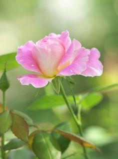 Rose, 'Claude Monet'