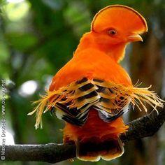 Guianan Cock-of-the-rock (Coq-de-roche orange) by photographer Maxime… Rare Birds, Exotic Birds, Colorful Birds, Most Beautiful Birds, Pretty Birds, Beautiful Creatures, Animals Beautiful, The Rock Photos, Kinds Of Birds