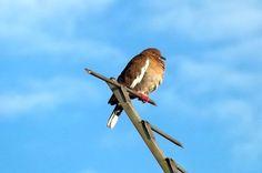 Taking a sun bath-Pigeon