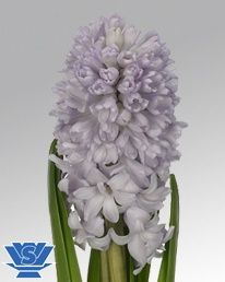 """Hyacinth """"City of Bradford"""" from Holland (whole sale only) (unprepared). Welcome to my page about hyacinth and other bulbs http://www.facebook.com/flowerindoorgardening"""