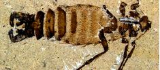 Fossils unearthed in China reveal that the insects were up to 10 times as large as modern fleas