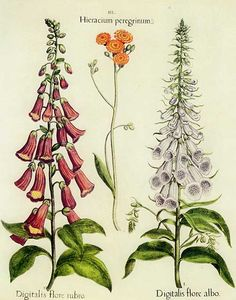 This illustration from Basilius Besler's Hortus Eystettensis, first published in 1613