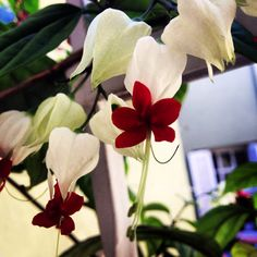 Flowers lágrima de cristo