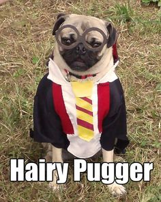 Harry Potter Costumes Funny Pug Dog Meme Pun LOL - J. Rowling never imagined that Harry Potter would become the franchise that it is today. Funny Dog Memes, Funny Dogs, Funny Animals, Cute Animals, Funny Kitties, Funny Horses, Pet Memes, Kitty Cats, Pugs In Costume