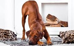 Renowned for the remarkable ridge on his back, the Rhodesian Ridgeback is a dignified and devoted hound. Active, strong and tough, the Ridgeback is also kindhearted and gentle with loved ones. Loyal Dog Breeds, Dog Breeds List, Loyal Dogs, Cute Dogs Breeds, Emotional Support Animal, Dogs Trust, Rhodesian Ridgeback, Hound Dog, Dog Show