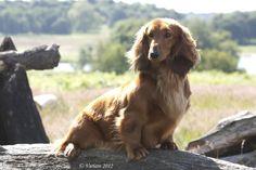 Standard Dachshunds | Abydachs Dachshunds Standard Dachshund, Whelping Box, Dog Training Courses, B Rain, Long Haired Dachshund, Dachshunds, Mans Best Friend, Country Of Origin, Cute Animals