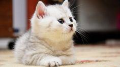 Cute White Fluffy Kittens Super fluffy kittens - wallpaper.