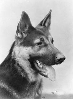 Le Berger Allemand d'antan   Fiche sur les chiens