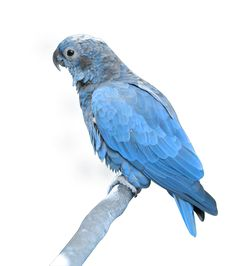 Blue parrot PNG