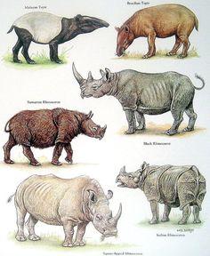 Malayan Tapir, Sumatran Rhinoceros, Brazilian Tapir, Black Rhinoceros, etc. Vintage 1984 Animal Book Plate