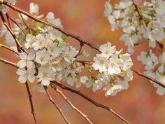 A fine art photo of Cherry Blossom Branches from the Essex County Cherry Blossom Festival in Branch Brook Park, Newark, NJ. This photo is available for free download. Photo by Don Peterson.