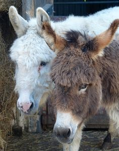 One of the many Charlies (white colour) and best friend Melody @islandfarmdonks http://www.donkeyrescue.co.uk/make-a-donation
