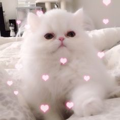 1000 Images About Persian Cats On Pinterest Persian