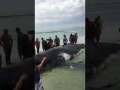 Noticias no Blog: Baleia encalhada em Arraial do Cabo, no RJ