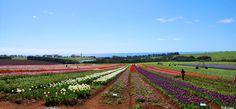 •⊰✿ Tulip fields – Wynyard, Tasmania ✿⊱•╮  Photograph © Ellen Vaman www.facebook.com/ellen.vaman1 #EllenVaman #Photography #Tasmania #Wynyard #Tulips #Flowers