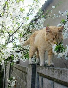 Orange Tabby stops to smell the fruit tree blossoms. Cute Cats And Kittens, Cool Cats, Kittens Cutest, Animals And Pets, Funny Animals, Cute Animals, Beautiful Cats, Animals Beautiful, Cat Aesthetic