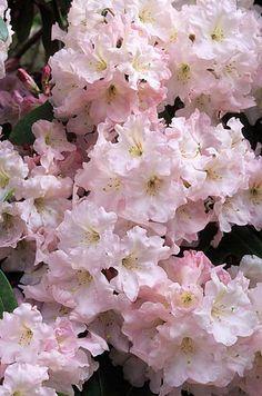 Azalea Rhododendron 'Faggetter's Favourite' Fotografia de John Glover, uno de los primeros y de los mas importantes fotografos de jardin del Reino Unido