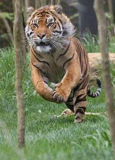 Tigre en pleine course <3 *****