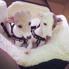 Italian greyhound pups.  This is about THE cutest thing ever❤️
