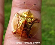 Funny pictures about Golden Tortoise Beetle. Oh, and cool pics about Golden Tortoise Beetle. Also, Golden Tortoise Beetle photos. Wild Life, A Bug's Life, Real Life, Beautiful Bugs, Amazing Nature, Beautiful Things, Real Nature, Beautiful Creatures, Animals Beautiful