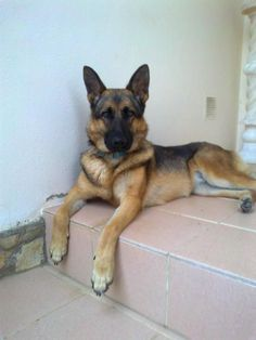 sable german shepherd | Is my female German Shepherd a sable? - German Shepherd Dog Forums #germanshepherd