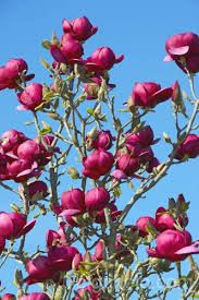 Black Tulip Magnolia D Alex I M Open To Any Variety Of This