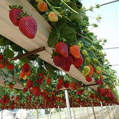 Strawberries planted in old rain gutters! Organic farming research foundation website! How cool and easy to pic is this!