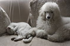 Baby poodle and friend