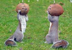 Nuts about coconuts: This pair of squirrels nibble every last morsel from the shells suspended on string from a washing line.
