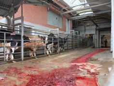 The trail of blood - this makes me sick as the poor cattle look on