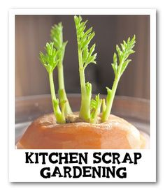 Kitchen Scrap Gardening - great to do with kids! Explains how to grow carrot tops, sweet potatoes, green onions, and more!