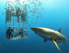How awesome this would be- scuba diving with a great white shark.  And to think, I'm scared of roller coasters...