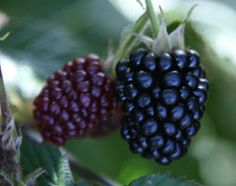 Blackberry 'Loch Ness' (PBR). This high yielding, thornless bush can produce up to 3.6kg of large, firm and glossy blackberries from mid August until the first frosts. It is such a super-producer, that it is now the number one variety used by commercial growers. Grow it in a large pot on a sunny patio, or train it against a sunny wall or fence and enjoy a long-lasting supply of delicious fruit.