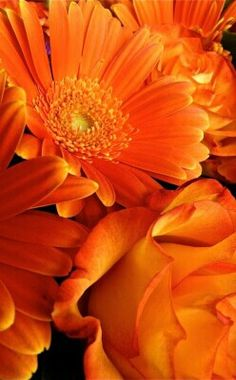 Orange Daisies..Rose