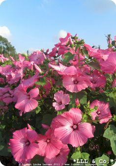 Pink flowers from my garden (Summer 2011) #flowers #pink