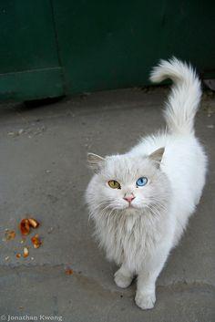 Blue (Cats) Eyes Blue  | China photo