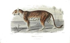 Animal - Cat - Leopard, French 19th C - Vintage - Natural History - Botanical - Scientific - Print