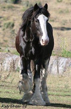 Purebred Black Clydesdale