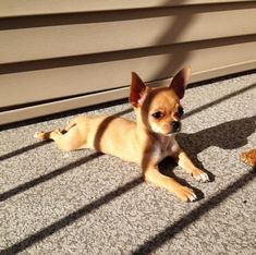 """If my memory serves me well (which is very questionable at my age), this looks like my very first pet, """"Tikki,"""" when I was a very young child....Teacup Chihuahua."""
