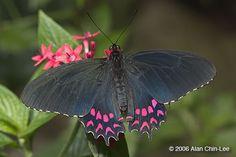 Parides photinus, El Salvador. Florida Museum of Natural History Lepidoptera Image Gallery, Alan Chin-Lee, photographer.